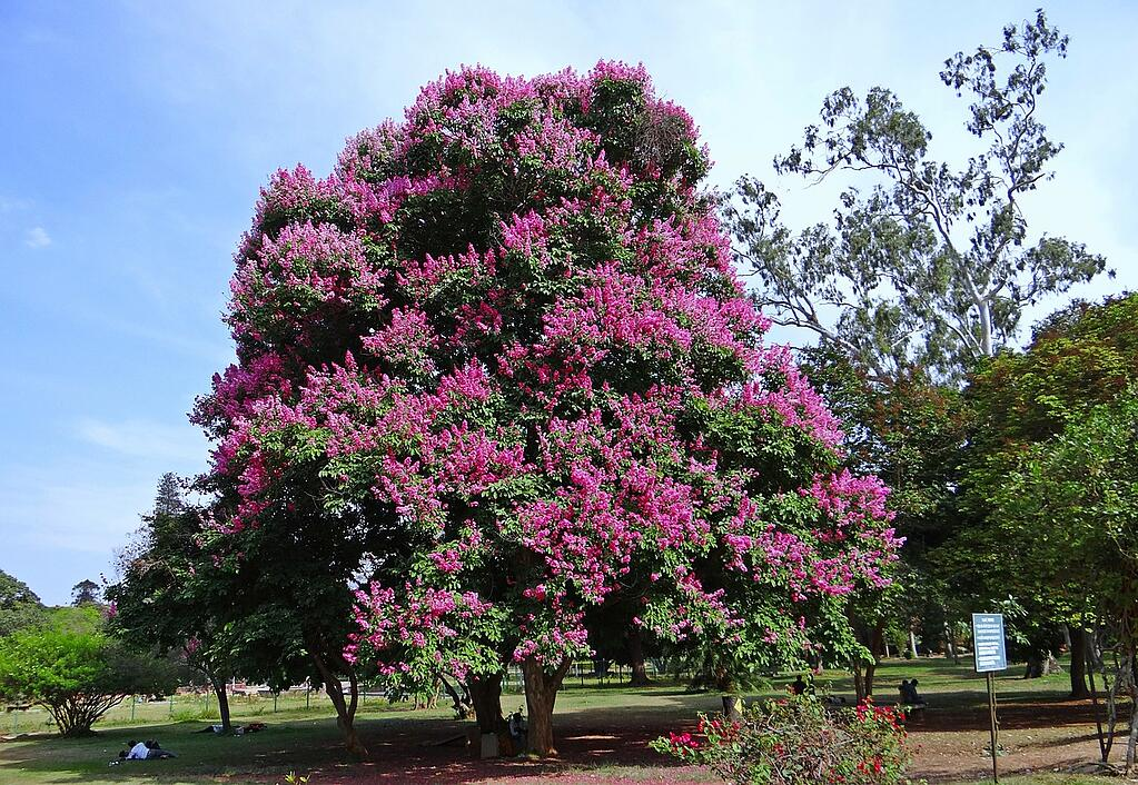 how-to-prune-a-crepe-myrtle.jpg