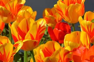 tulips-1261142_1280.jpg